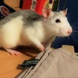 Rongeur Rat Twitch