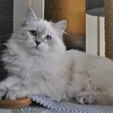 Chat Sibérien Tyra Larja Fantasia