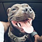 Chien Staffordshire Bull Terrier Tyson