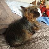 Chien Silky Terrier Uggy