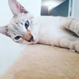 Chat Siamois Ulysse