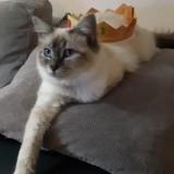 Chat Ragdoll Vénus