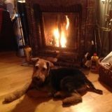 Chien Airedale Terrier Watson