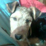 Chien Welsh Terrier Gaya