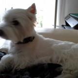 Chien West Highland White Terrier Jina