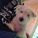 Chien West Highland White Terrier Milou