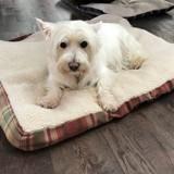 Chien West Highland White Terrier Wendy