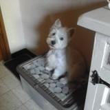 Chien West Highland White Terrier Oggy