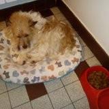 Chien West Highland White Terrier Hélios