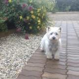 Chien West Highland White Terrier Westie