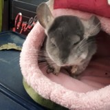 Rongeur Chinchilla Winstone