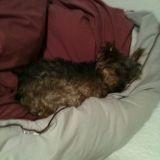 Chien Yorkshire Terrier Noirette