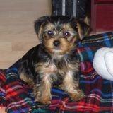 Chien Yorkshire Terrier Yoshi