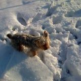 Chien Yorkshire Terrier Snoopy