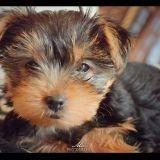 Chien Yorkshire Terrier Sissi