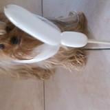 Chien Yorkshire Terrier Vanille