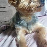 Chien Yorkshire Terrier Néo
