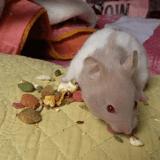Rongeur Hamster Yu'