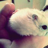 Rongeur Hamster Zboub