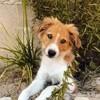 Alba, chien Border Collie