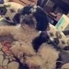 Angel, chien Caniche