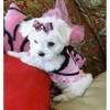 Anna, chien Spitz des Wisigoths