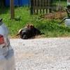 Apollon, chien Labrador Retriever