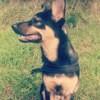 Aria, chien Berger allemand