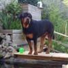 Arouck, chien Rottweiler