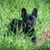 Arya, chien Bouledogue français
