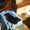 Asia, chien Jagdterrier