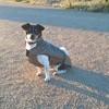 Baby, chien Pinscher autrichien à poil court