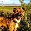 Baki, chien American Staffordshire Terrier