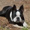 Bambou, chien Terrier de Boston