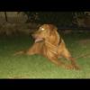 Beefy, chien Rhodesian Ridgeback