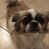 Belka, chien Épagneul tibétain