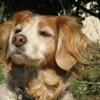 Bella, chien Épagneul breton