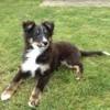 Photo de Newton, chiot Berger des Shetland - 377261