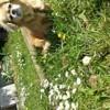 Bianca, chien Épagneul tibétain