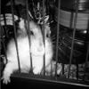 Blanca, rongeur Hamster