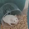 Blancko, rongeur Hamster