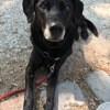 Boolett, chien Labrador Retriever