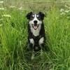 Photo de Nobel, chien Border Collie - 412682