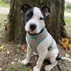 Bounty, chien American Staffordshire Terrier