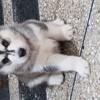 Boyka, chien Husky sibérien
