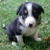 Brett, chien Border Collie