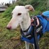 Photo de Brisa, chien Lévrier espagnol - 432280