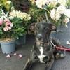 Brutus, chien Dogue argentin