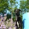 Cachou, chien Lévrier espagnol