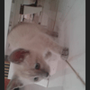 Candy, chat Siamois
